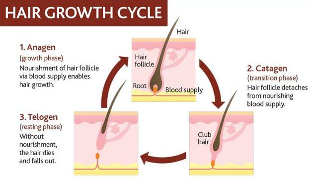 human facial hair growth cycle
