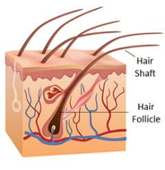 the human hair follicle