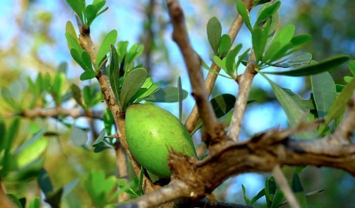 argan fruit in argan spinosa tree