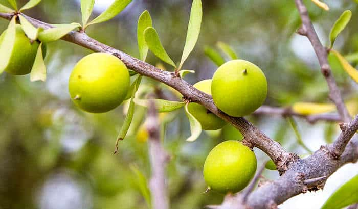 argan tree fruits