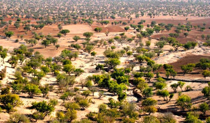 argan trees growing in morocco